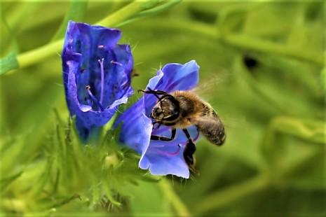 Biene bei der Nahrungsaufnahme-Glockenblume-Blühfeld