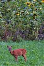 Junger Rehbock, einjährig, steht tagsäber im Blühfeld
