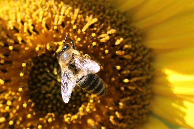 Biene beim Nektarsammeln -Sonnenblume im Blühfeld