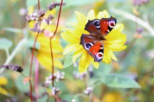Tagpfauenauge in der Farbenpracht des Blühfeldes