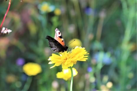 Schmetterling im Blühfeld